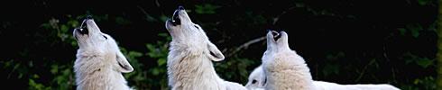 Appel nocturne des loups au  parc animalier sainte croix entre strasbourg nancy et metz.